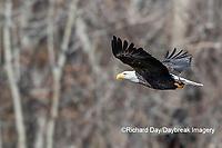 00807-03716 Bald Eagle (Haliaeetus lecocephalus) in flight with fish Clinton Co. IL