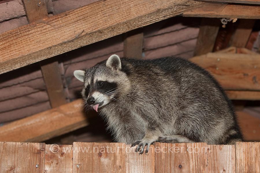 """Waschbär, etwa 5 Monate altes Jungtier unter einem Dach, Dachstuhl, Dachgebälk, """"Tiere in Dorf und Stadt"""", Männchen, Rüde, Waschbaer, Wasch-Bär, Procyon lotor, Raccoon, Raton laveur, """"Frodo"""""""