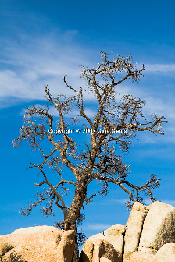 Weathered tree growing from rocks in Joshua Tree National Park