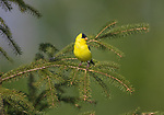 Male American goldfinch perched in a white spruce tree.