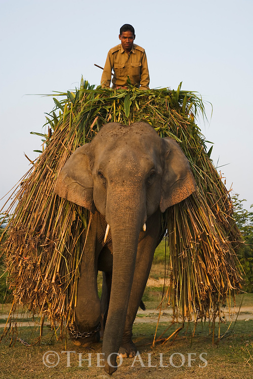 India, Kaziranga National Park, Indian elephant (Elephas maximus indicus) carrying elephant grass which is its main food source in Kaziranga National Park
