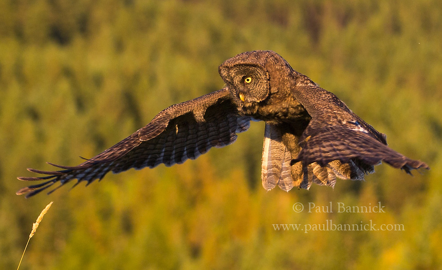 A Juvenile Great Gray hovers above prey moving through the grass below.