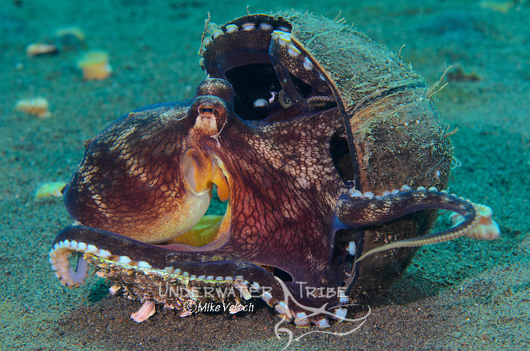 A coconut octopus, Amphioctopus marginatus, hanging onto its coconut shell home, Puri Jati, Seririt, North Bali, Indonesia, Pacific Ocean