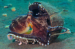 A coconut octopus, Amphioctopus marginatus, hanging onto its coconut shell home, Puri Jati, Seririt, North Bali, Indonesia, Pacific Ocean