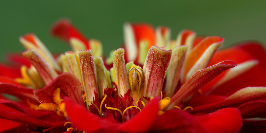 New Zinnia bloom, with a structure & form that reminds one of a salad of sorts..