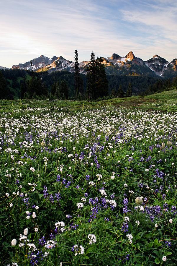 Wildflower meadow below Tatoosh Range, Edith Creek Basin, Mount Rainier National Park, Washington, USA