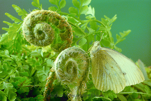 Sulfur butterfly blending in perfectly while sitting on fliddlehead ferns