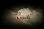 A female loggerhead sea turtle makes her way back to the ocean after laying eggs on the beach of Georgia's Ossabaw Island, June 18, 2012. A team from University of Georgia and the Georgia Department of Natural Resources gathered data and tagged the female as part of a research and conservation efforts.