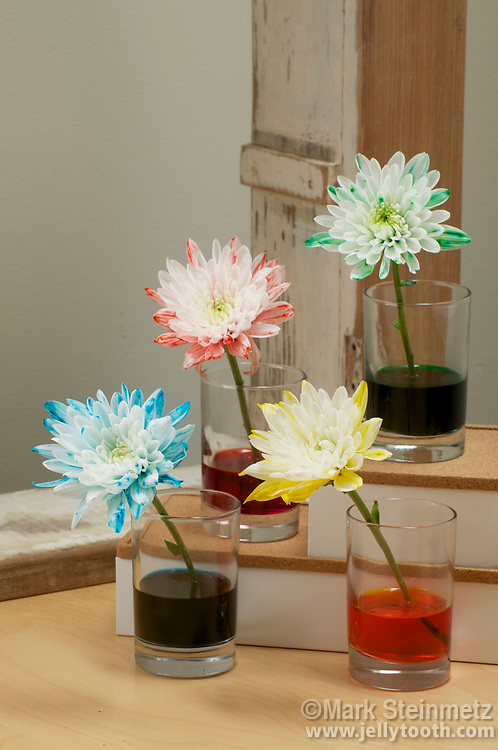 Placed in colored water, cut white Dahlias begin to display the corresponding red, blue, green and yellow of the food coloring