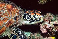 green sea turtle, Chelonia mydas, Sipadan, Borneo, Malaysia, Pacific Ocean
