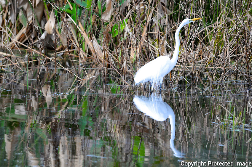 The beauty of an egret reflected in water. Photographed at Green Cay Wetlands, Boynton Beach, Florida.