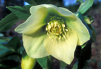Helleborus Spring Promise Sally or virtually identical, yellow flowered hellebore