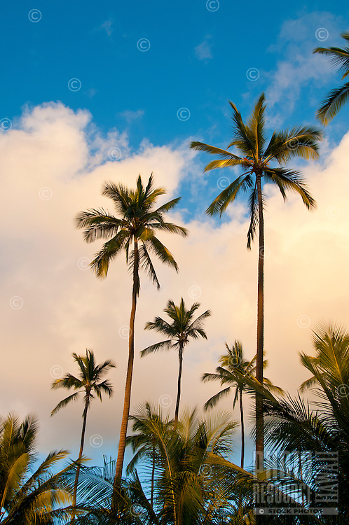 Coconut (or niu) trees on Kaua'i.