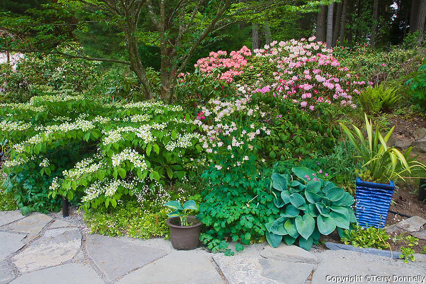 Vashon Island, WA<br /> Stone path boarders a Pacific Northwest forest garden featuring flowering viburnum and rhododendrons