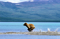 Brown bear in Katmai National Park being divebombed by Arctic Tern