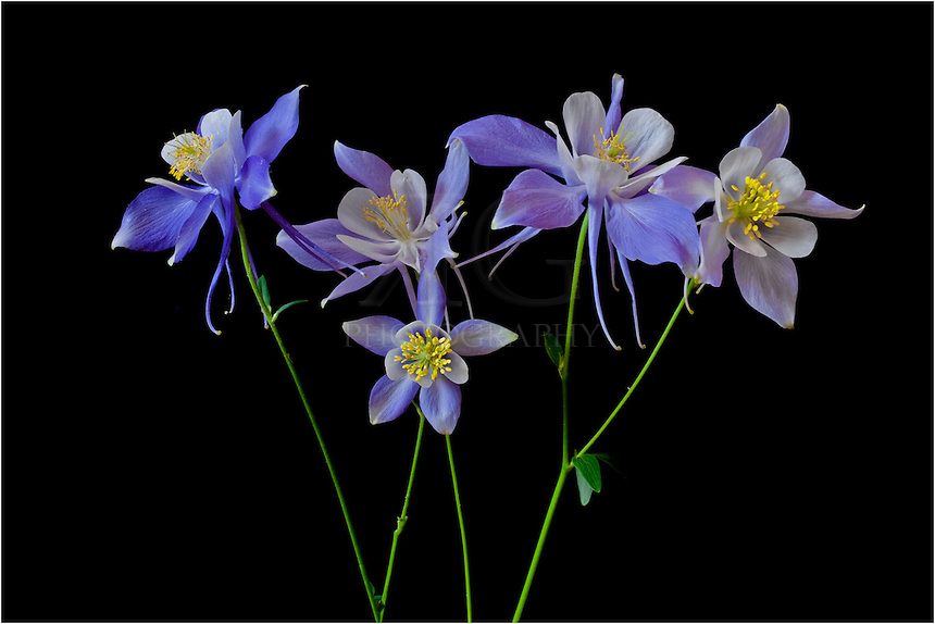 colorado columbine flowers for a photo shoot  rob greebon, Beautiful flower