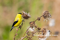 01640-16509 American Goldfinch (Spinus tristis) male eating seeds at thistle plant Marion Co. IL