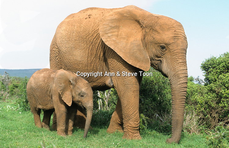 Elephant and calf, Loxodonta africana, Addo national park, South Africa
