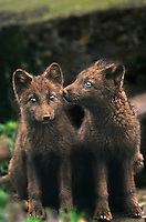 630650324 two wild arctic fox alopex lagopus sit on a lichen covered rock face interacting on saint george in the pribilof islands off the coast of alaska