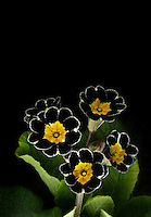"Marie Lincoln and Bill Schlicht own the Chocolate Flower Farm on Whidby Island in Langley, speicalizing in the hot new trend of dark-colored plants and flowers.  .One of their favorite flowers is a new variety of Primula Polyanthus ""Penumbra"" commonly known as the Silver-laced Primrose.."
