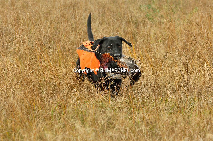 00975-014.18 Labrador Retriever: Black Lab wearing orange vest is retrieving a rooster pheasant.  Hunt, CRP, prairie, action.