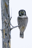 Northern Hawk Owl perched on a burned tree