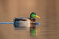 Mallard (Anas platyrhynchos) - Male swimming