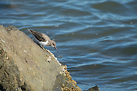 Spotted Sandpiper, Actitis macularius, on the San Francisco Bay shoreline at Cesar Chavez Park, Berkeley, California