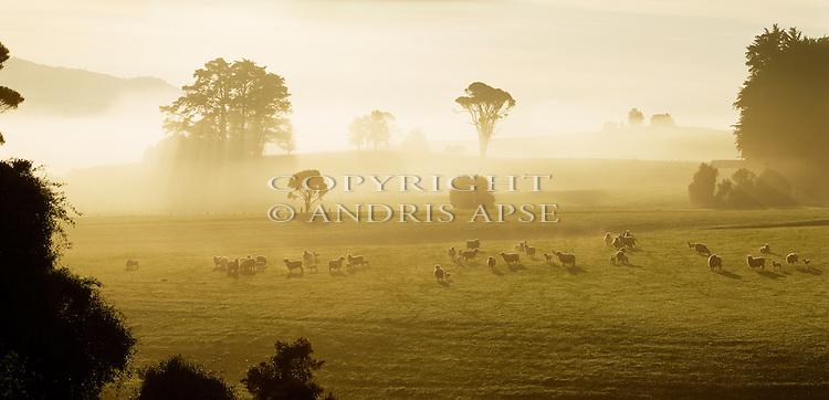 Foggy morning. Sheep and lambs at Tahakopa in the Catlins. Otago Region. New Zealand.