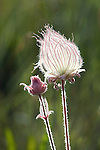 Seed plume and flower head of the Prairie Smoke wildflower in western Montana