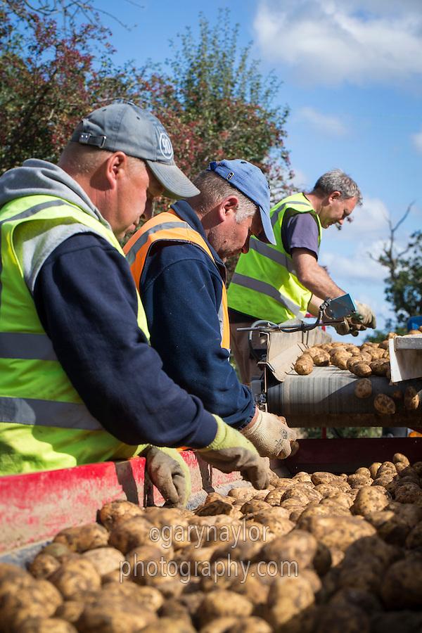 Grading Marabel potates for long term refrigerated box storage - September, Norfolk