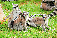 Ring-tailed Lemurs (Lemur catta), group with an infant on the ground, Madagascar, Africa