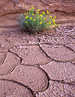 Unidentified yellow flower and cracked mud. Monument Valley, Arizona