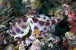 Hapalochlaena lunulata, Blue ringed octopus, Lembeh, Indonesia