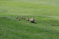 A family waddling down the 10th fairway  during Round 3 of the Open de Espana 2018 at Centro Nacional de Golf on Saturday 14th April 2018.<br /> Picture:  Thos Caffrey / www.golffile.ie<br /> <br /> All photo usage must carry mandatory copyright credit (&copy; Golffile | Thos Caffrey)