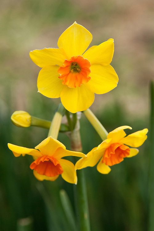 Daffodil (Narcissus 'Mike Pollack'), a Division 8 Tazetta variety, mid February.