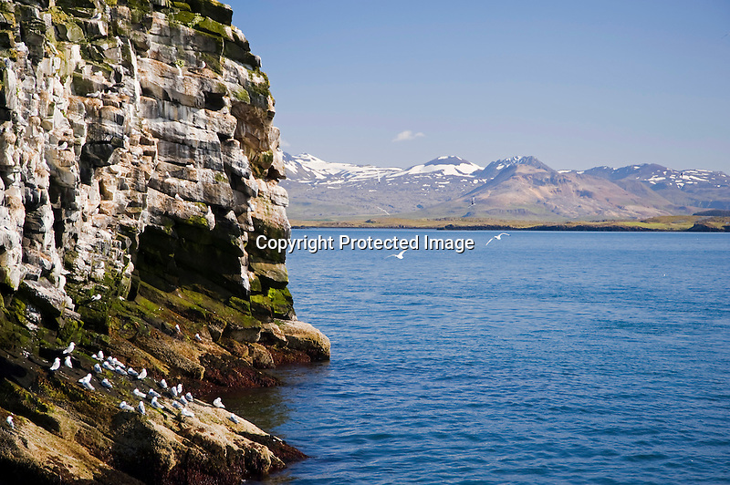 Sea Birds on Rocky Cliff in Breidafjordur fjord near Stykkisholmur in Iceland