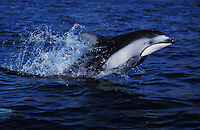 nb62. Pacific White-sided Dolphin (Lagenorhynchus obliquidens) leaping. British Columbia, Canada, Pacific Ocean..Photo Copyright © Brandon Cole.  All rights reserved worldwide.  www.brandoncole.com..This photo is NOT free. It is NOT in the public domain...Rights to reproduction of photograph granted only upon payment of invoice in full.  Any use whatsoever prior to such payment will be considered an infringement of copyright...Brandon Cole.Marine Photography.http://www.brandoncole.com.email: brandoncole@msn.com.4917 N. Boeing Rd..Spokane Valley, WA 99206   USA..tel: 509-535-3489