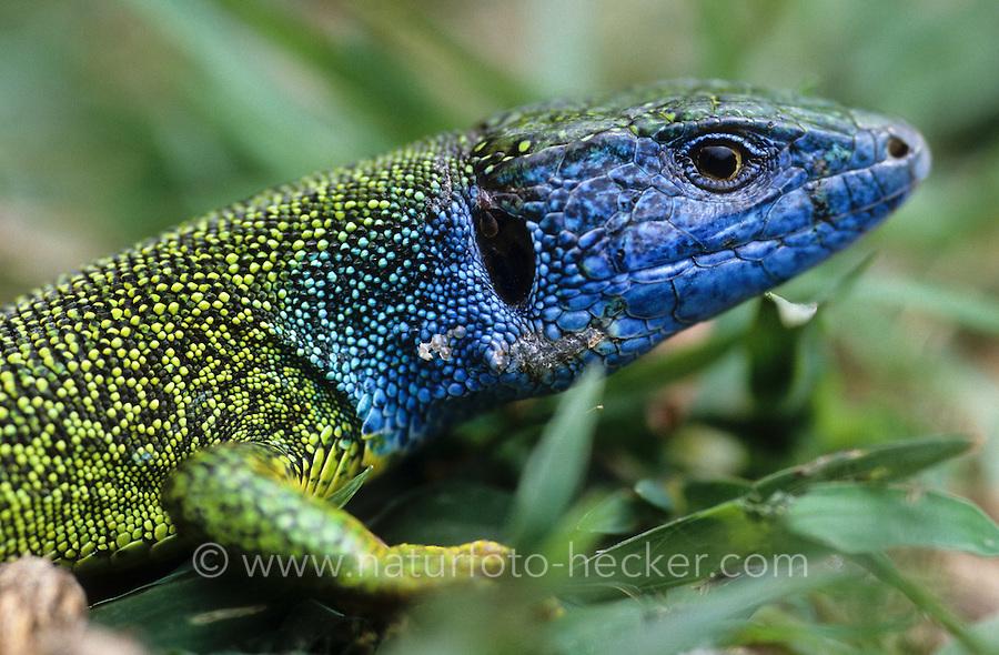 Smaragdeidechse, Smaragd-Eidechse, Östliche Smaragdeidechse, Portrait, Männchen, Lacerta viridis, green lizard, emerald lizard, Griechenland
