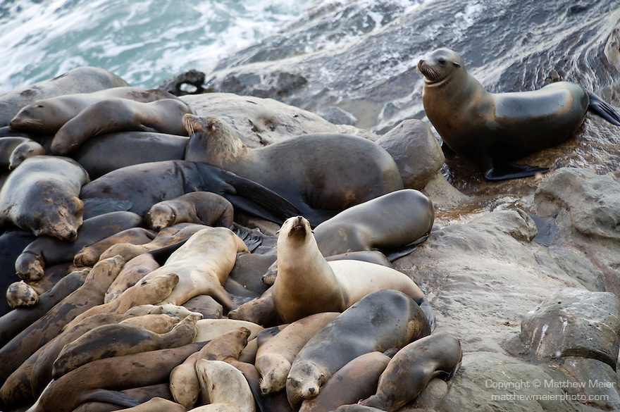 La Jolla Cove, San Diego, California; a female rejoins a group of California Sea Lions (Zalophus californianus) piled on top of one another, resting on the rocky shoreline, as waves from the Pacific Ocean crash against the rocks