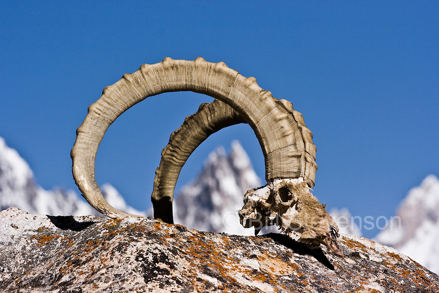 Ibex horns against a blue sky on the Biafo glacier in the Karakoram mountains of Pakistan