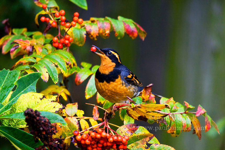 A Varied Thrush, Ixoreus naevius, feasts upon Sitka Mountain Ash berries in King County, Washington.