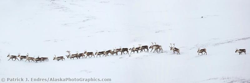 Panorama of a herd of caribou migrtating through the snowy tundra in Atigun Canyon, Brooks Range, Arctic, Alaska.
