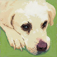 Portrait of Golden Retriever puppy dog ExclusiveImage