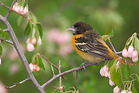 Young or immature Male Northern Oriole (Icterus galbula). Great Lakes Region. Spring.