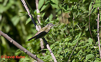 0918-0902  Red-eyed Vireo, Vireo olivaceus © David Kuhn/Dwight Kuhn Photography