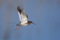 Common Redshank, Tringa totanus, adult in flight,National Park Lake Neusiedl, Burgenland, Austria, April 2007