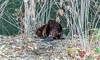 2017-11-02_Urban Wildlife_Beaver