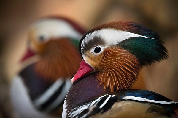 CIU08 CIUDAD DEL CABO (SUDÁFRICA) 02/08/2017.- Un ejemplar de pato mandarín fotografiado en el santuario para las aves World of Birds Wildlife Sanctuary en Ciudad del Cabo (Sudáfrica) este 2 de agosto de 2017. Localizado en el pintoresco valle de de Hout Bay, el parque es la mayor reserva de aves de África, con unos 3.000 pájaros de 400 especies diferentes. EFE/Nic Bothma