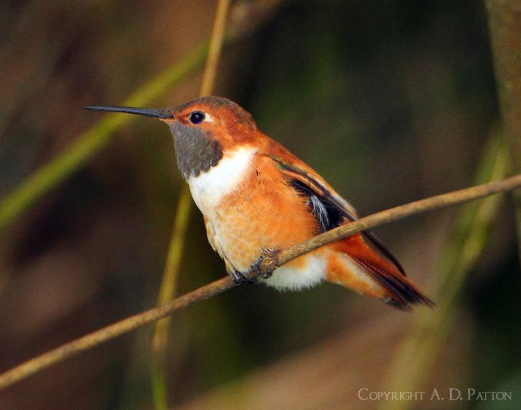 Adult male rufous hummingbird
